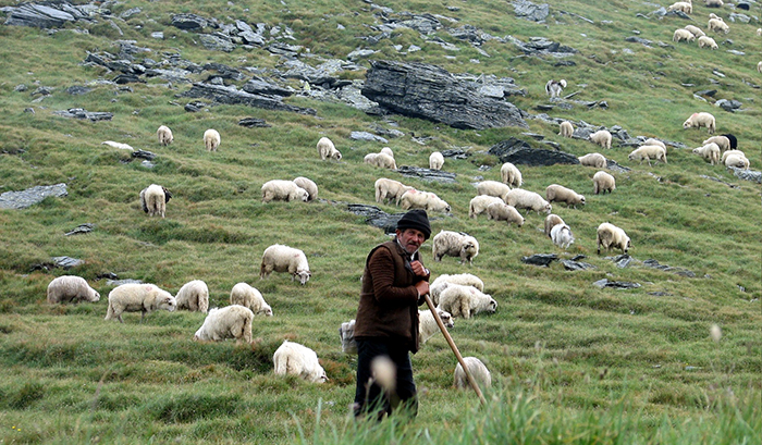 Forget voting. Learn to tend sheep. Photo: Wikimedia Commons